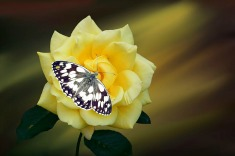 yellow butterfly rose235