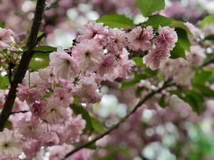 pink flowers spring tree blooming