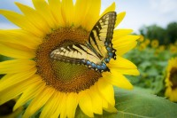 yellow butterfly sunflower