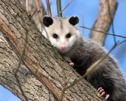 opossum-3933041_640 (2)