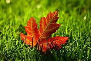 maple-leaf-3680684_640 (2)