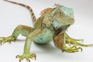 iguana-1057830_640